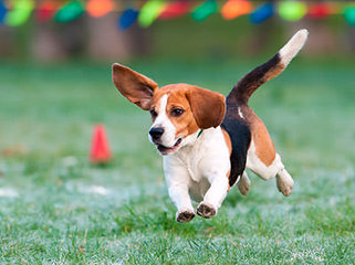 Beagle Puppies Avaible - Dog Breeders