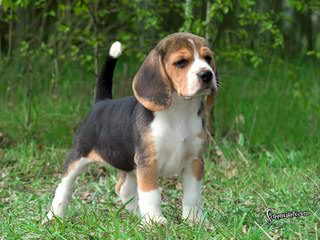 Nicodemis_Johnson@Yahoo.Com Beagle - Dog Breeders