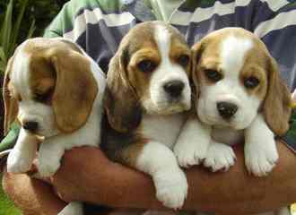 VIKRUS - Dog Breeders