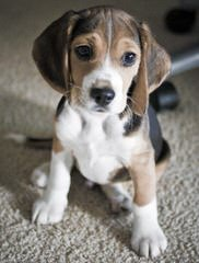 Ohmer's Westside Beagles - Dog Breeders