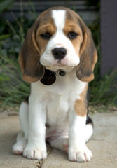 Beagle For Rehoming - Dog Breeders