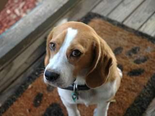 Beagle Stud Available - Dog Breeders