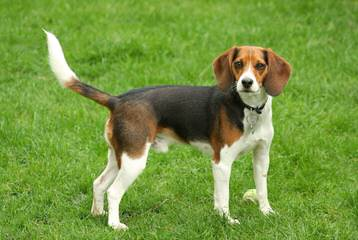 Akc Beagle Stud - Dog Breeders