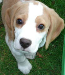 Beagle Puppies Avaible - Dog and Puppy Pictures