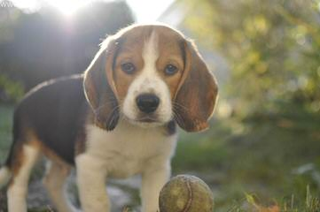 Fc Beagles - Dog and Puppy Pictures