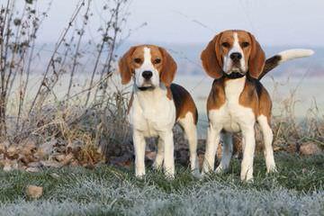 3 Year Old Male Beagle - Dog Breeders