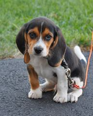 Nicodemis_Johnson@Yahoo.Com Beagle - Dog and Puppy Pictures