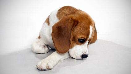 Fc Beagles - Dog Breeders