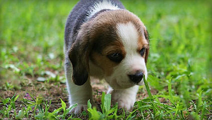Akc Beagle Pups - Dog Breeders
