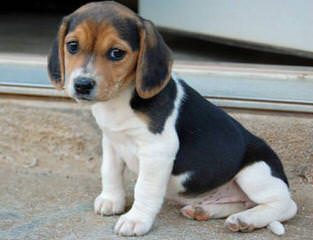 Queen Elizabeth Pocket Beagles - Dog and Puppy Pictures