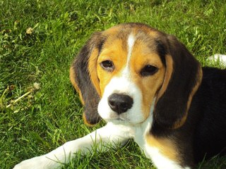 Akc Registered Beagle For Stud Services - Dog Breeders