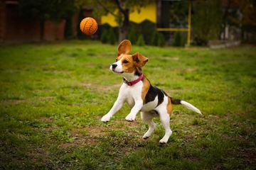 Queen Elizabeth Pocket Beagles - Dog Breeders