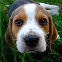 Beautiful Beagles - Dog Breeders
