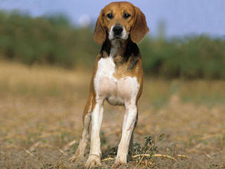 Pocket Beagles Usa! - Dog Breeders