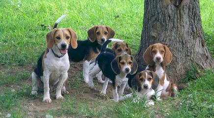 Akc Min.Pin.+ Akc Beagle = Achc Meagles! - Dog and Puppy Pictures