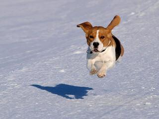 Akc Beagle Stud - Dog Breeders