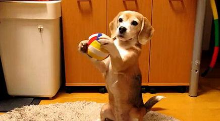 Ohmer's Westside Beagles - Dog Breeders