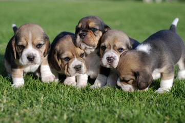 Beagle Stud For Hire. - Dog Breeders