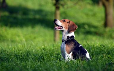 Nicodemis Johnson Beagle Puppy - Dog and Puppy Pictures