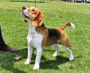 Ohmer's Westside Beagles - Dog and Puppy Pictures