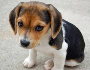 Free Doxle Pups 8 Mo Old - Dog Breeders