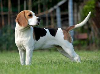 Akc Beagle Pups - Dog Breeders