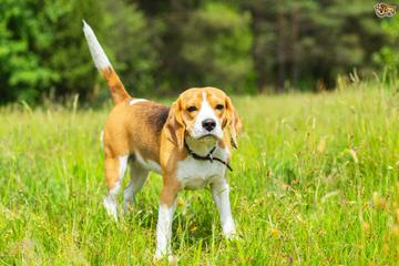 Nicodemis_Johnson@Yahoo.Com Beagle - Dog Breeders