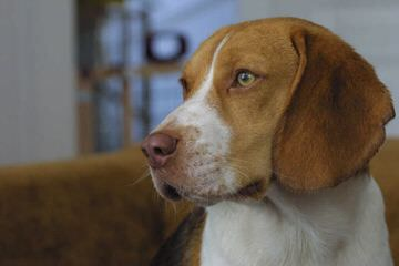 3 Year Old Male Beagle - Dog Breeders