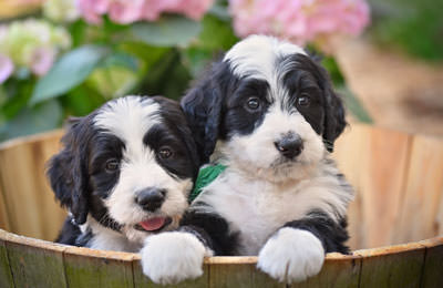 Bernedoodle Dogs and Puppies