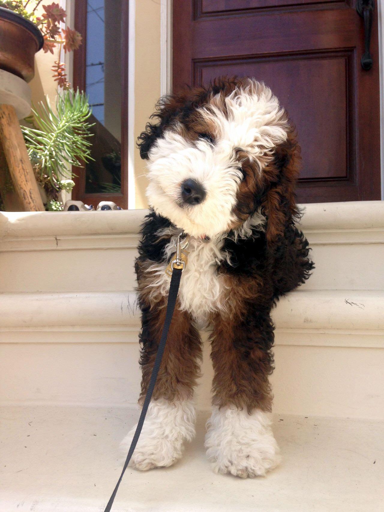 Image Result For Bernese Poodle Mini