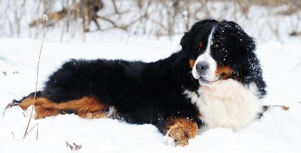 Linder Labradoodles & Bernedoodles - Dog Breeders