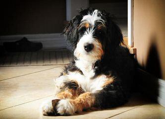 Mi Mountain Doodles - Dog Breeders