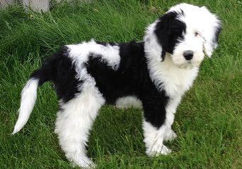 Poodles 2 Doodles - Dog Breeders