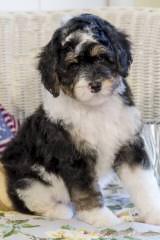 Puppies by Design - Dog Breeders
