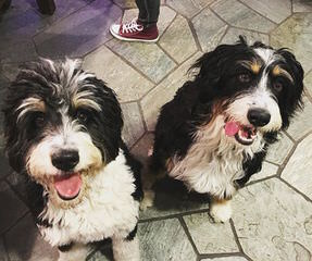 Bernedoodle Puppies For Sale Bernedoodle Dog Breeders