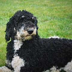 Moonstruck Bernedoodles - Dog Breeders