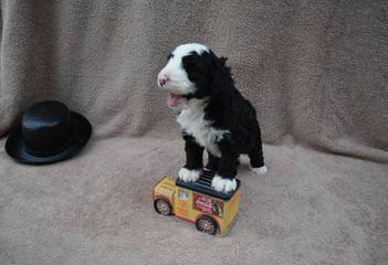 Bearcreek Bernedoodles - Dog and Puppy Pictures