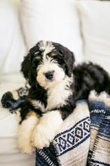 Bearcreek Bernedoodles - Dog Breeders