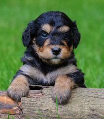 Bernedoodle Babies - Dog Breeders
