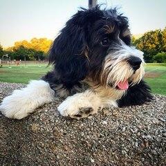 Apple Creek Doodles - Dog Breeders