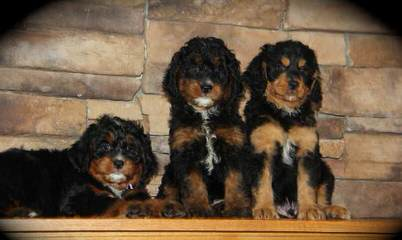 Moonstruck Bernedoodles - Dog Breeders