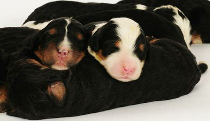 Puppies by Design - Dog Breeders