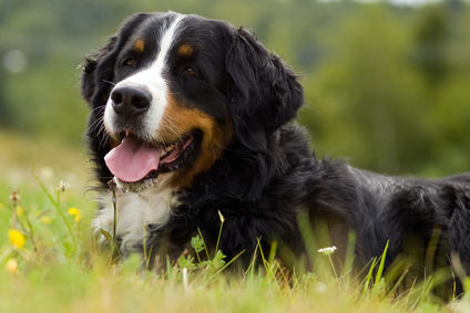 Bernese Mountain Dog Dogs and Puppies