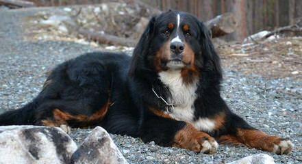 Bernese Mountain Puppies - Dog Breeders