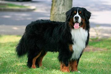 Rocky Mtn Sennenhunds - Dog Breeders