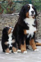 Beautiful Bernese Mountain Dog Boxers - Dog Breeders