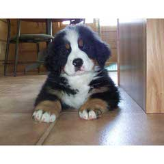 Montreux Bernese Mountain Dogs - Dog and Puppy Pictures