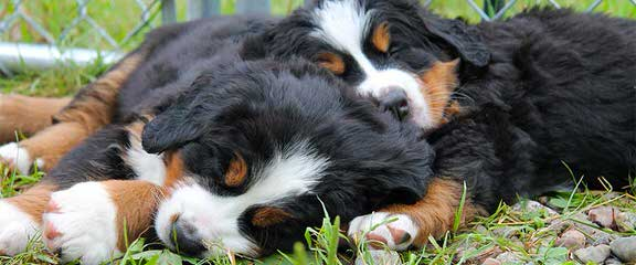 Bernese Mountain Dog Puppies For Sale Bernese Mountain Dog
