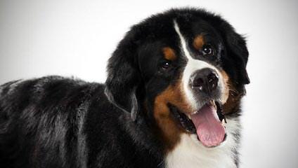 Blakoke Reg'd BMD - Dog Breeders