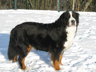 Bernese Mountain Dog Puppies For Sale / Bernese Mountain Dog Dog